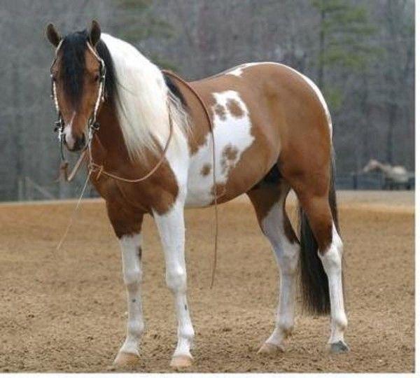 Beau cheval indien...